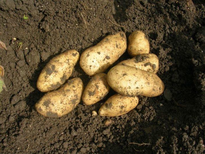Gewasgroei aardappelen 2007