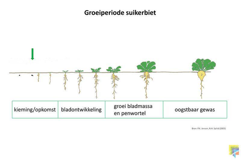 Groeistadia suikerbieten