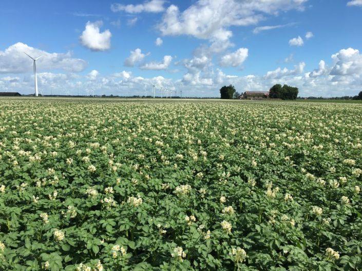 Gewasgroei 26 juni 2017;aardappelen ras is Eurostar