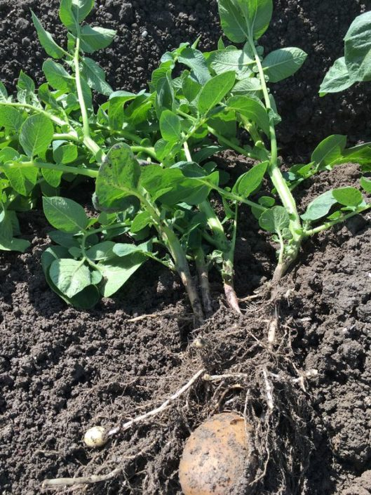 9 juni 2017; gewasgroei aardappelen ras is Eurostar