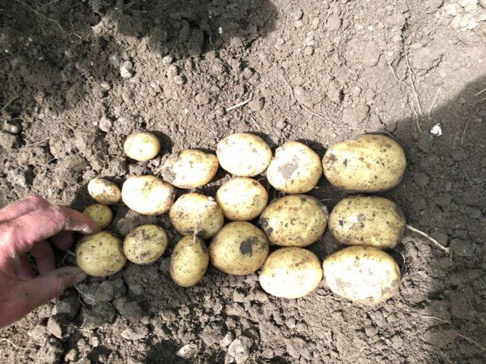 10 juli 2017; gewasgroei aardappelen, ras is Eurostar