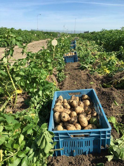 Aardappelproefveld Semagri deels gerooid