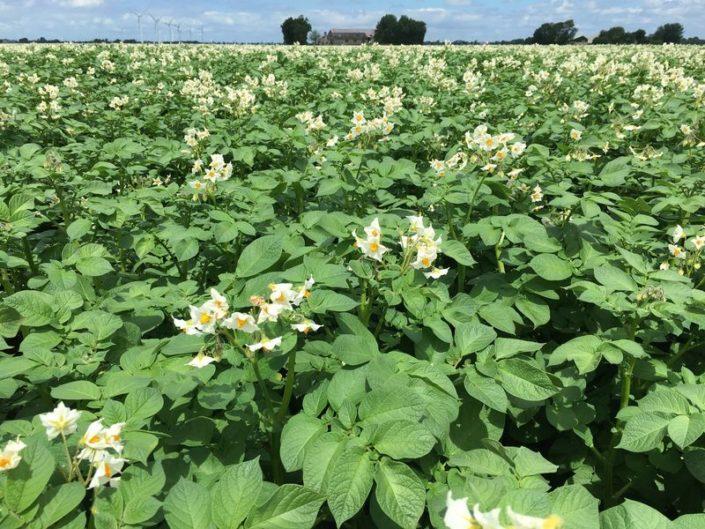 2 juli 2017; gewasgroei aardappelen, ras is Eurostar