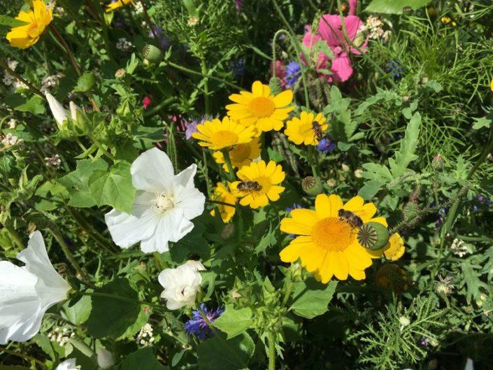 Akkerrand in bloei
