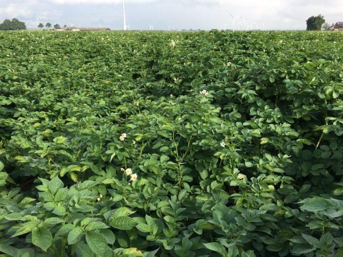 24 juli 2017; gewasgroei aardappelen, ras is Eurostar