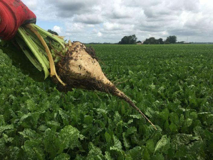 13 augustus 2017; gewasgroei suikerbieten, ras is BTS990