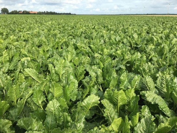 20 augustus 2017; gewasgroei suikerbieten, ras is BTS990