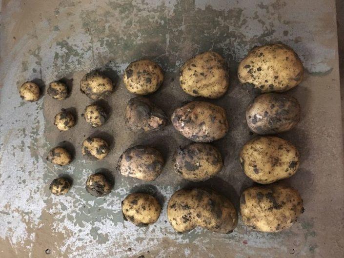 20 augustus 2017; gewasgroei aardappelen, ras is Eurostar
