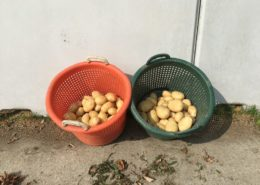 22 augustus 2017; tweede proefrooiing aardappelen; ras is Eurostar