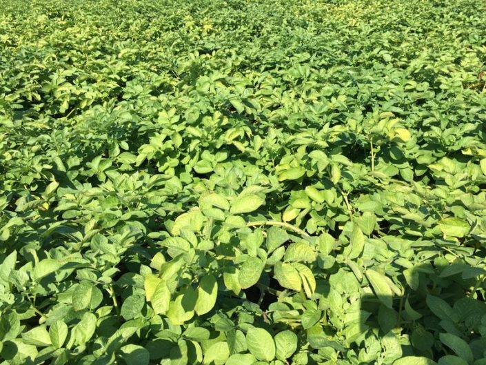 27 augustus 2017; gewasgroei aardappelen, ras is Eurostar
