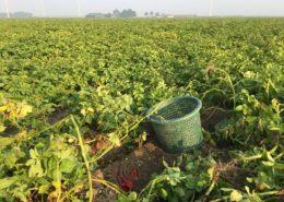 29 augustus 2017; derde proefrooiing aardappelen
