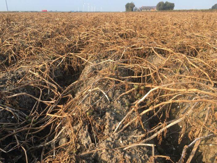 25 september 2017; gewasgroei aardappelen, ras is Eurostar