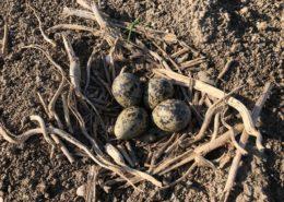 11 mei 2018; nest met kievits eieren