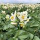 24 juni 2018; gewasgroei aardappelen ras is Innovator