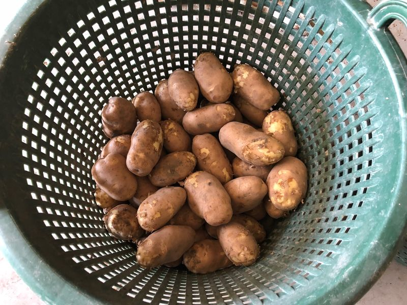 3 augustus 2018; eerste proefrooiing aardappelen