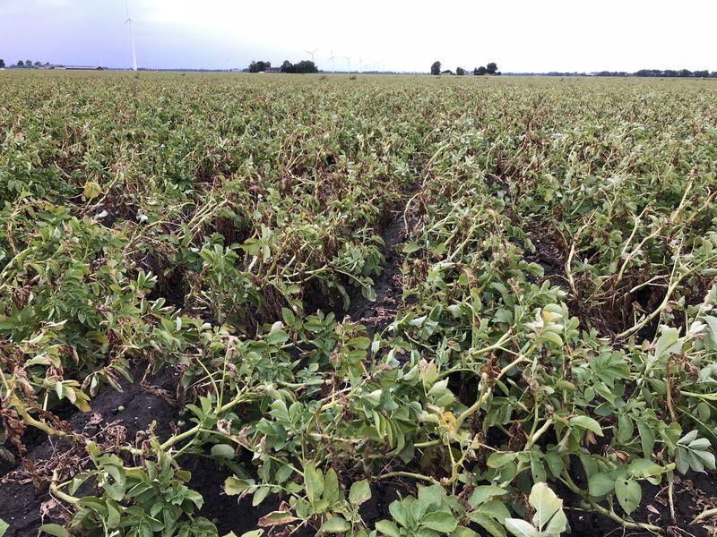 10 augustus 2018; tweede proefrooiing aardappelen