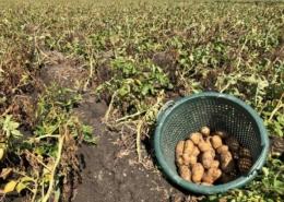 17 augustus 2018; derde proefrooiing aardappelen