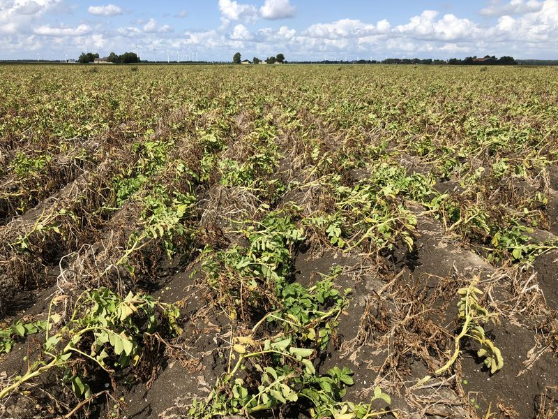 24 augustus 2018; 4e proefrooiing aardappelen, ras is Innovator