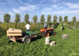 5 oktober 2018; druivenoogst De Wilde Wijngaard